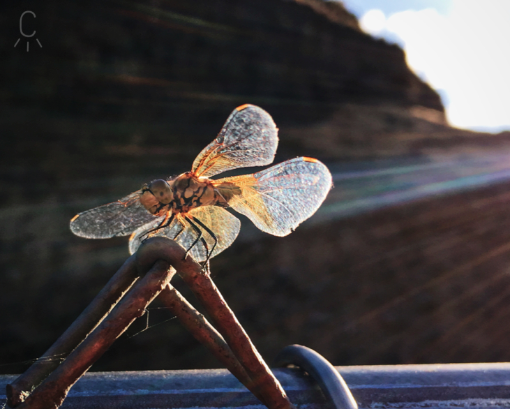 Ceily Rae Photography & Design Western Photography Dragon Fly